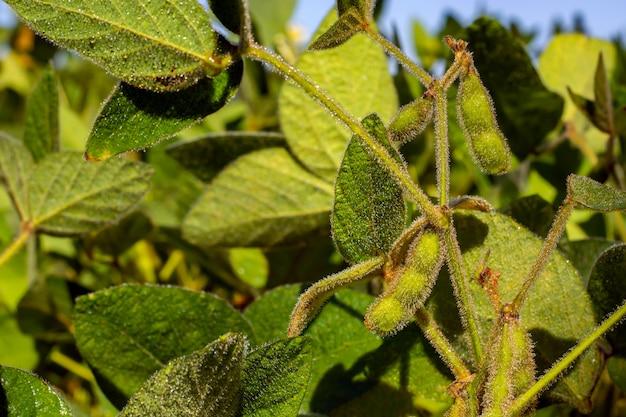 Vagem de soja cheia de feijão em um campo