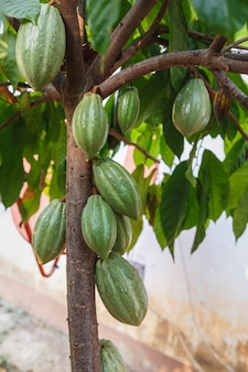 Vagens de cacau fresco da árvore do cacau
