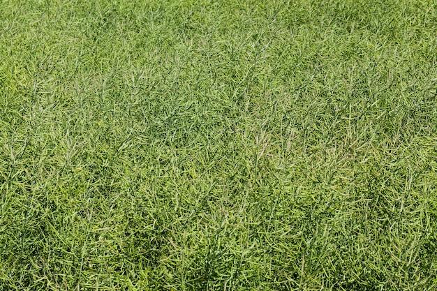 Vagens de colza verde em um campo agrícola, a colza verde é imatura após a floração
