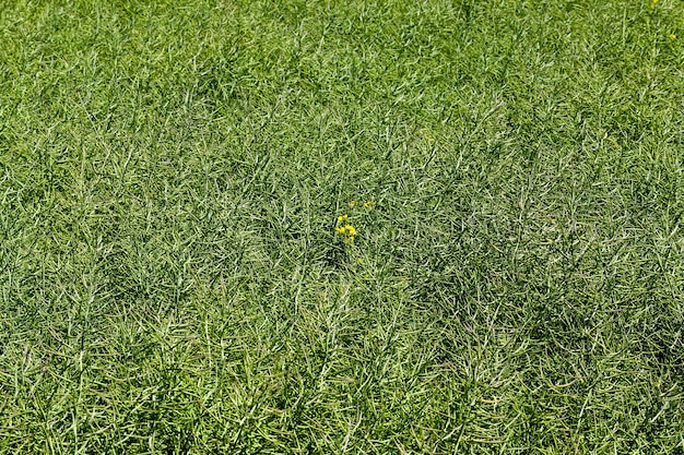Vagens de colza verde em um campo agrícola