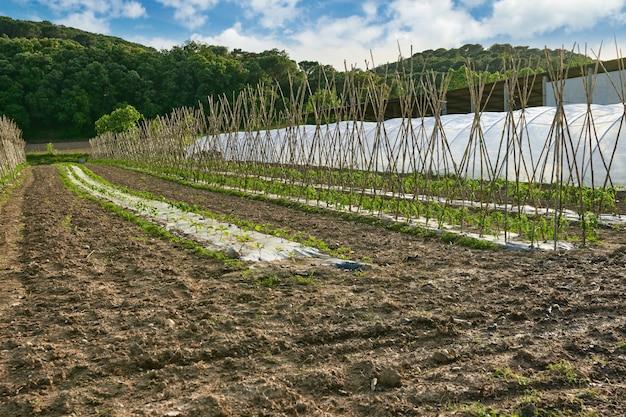 Vagens de ervilha verdes brilhantes frescas em plantas de ervilha em um jardim. cultivo de tomate ao ar livre.