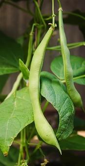 Vagens de feijão selênio no jardim. seletivo focus.food