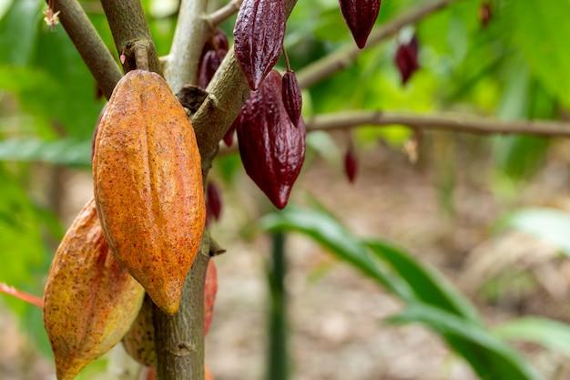 Vagens de frutas orgânicas de cacau na natureza.