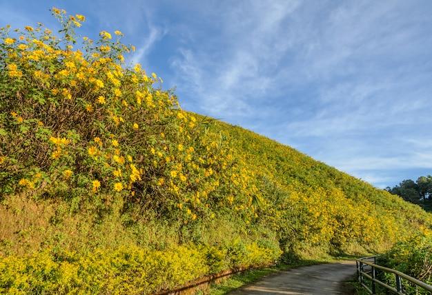 Vale de florescência do girassol mexicano selvagem em meahongson, tailândia