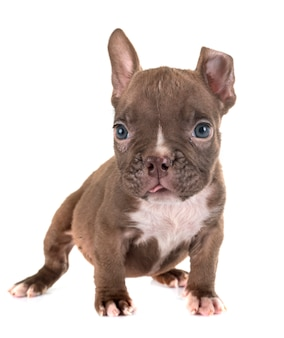 Valentão americano do filhote de cachorro no estúdio