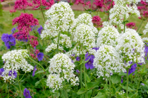 Valeriana vermelha e branca (centranthus ruber)