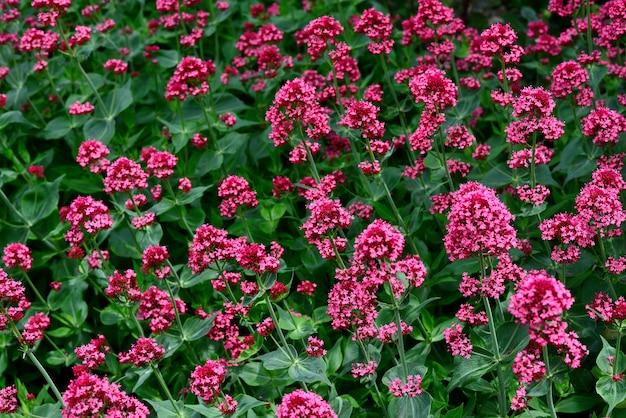 Valeriana vermelha flores no jardim