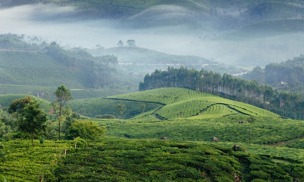 Vales verdes das plantações de chá da montanha em munnar