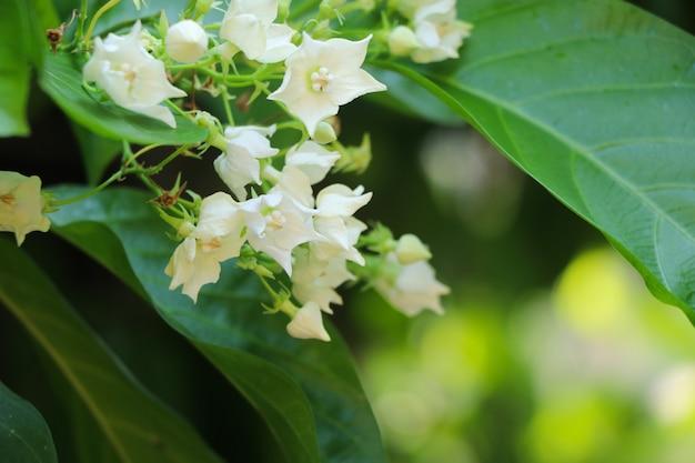 Vallaris glabra kuntze branco e pequenas flores com luz do dia na natureza