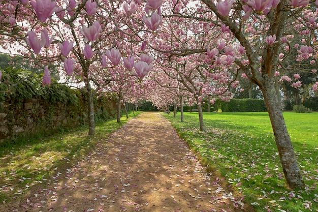 Várias árvores de magnólia em flor na beira de um caminho.