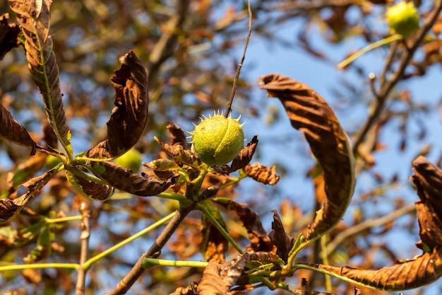 Várias castanhas maduras em uma árvore no outono