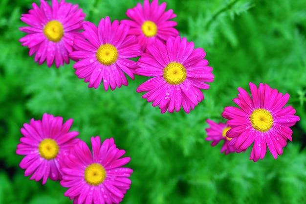 Várias das margaridas cor-de-rosa feverfew em um verde brilhante no jardim, vista superior.