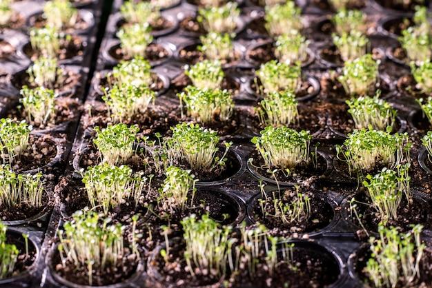 Várias fileiras de pequenos vasos com pequenas mudas verdes crescendo em estufa que podem ser usadas