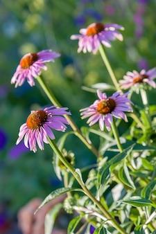 Várias flores da família camomila