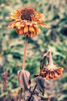 Várias flores de malmequeres congeladas durante a primeira geada no outono. um grande botão e um pequenino partido. família aster. tons silenciados. foco seletivo. o fundo está desfocado.