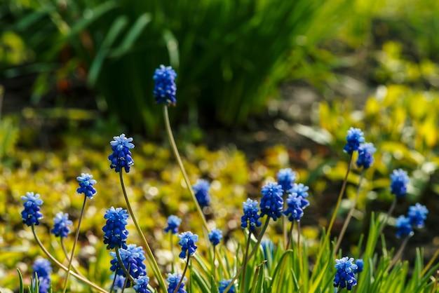 Várias lindas campainhas azuis