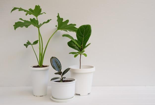 Várias plantas de casa em um recipiente moderno e elegante em uma mesa de madeira branca e na parede em um quarto branco, ar natural purificado com philodendron selloum, planta de borracha, ficus lyrata