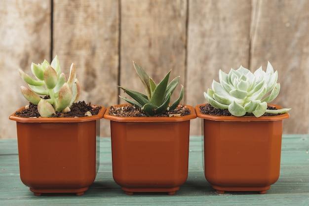 Várias suculentas em pequenos vasos em uma mesa de madeira