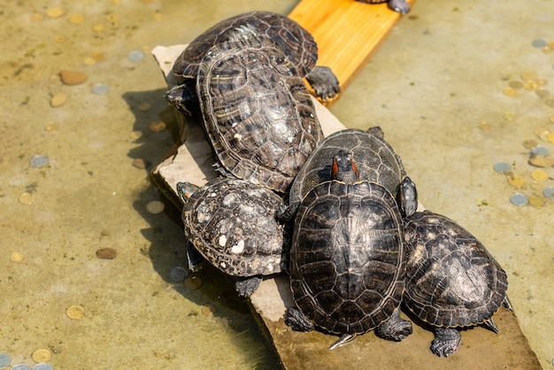 Várias tartarugas têm um descanso sobre a água no dia ensolarado de verão