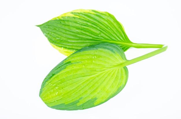 Várias variedades de folhas de hosta isoladas no fundo branco. foto do estúdio.