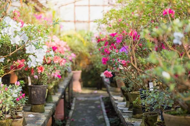 Variedade de azaléias florescendo rododendros em vasos de flores em estufa velha.