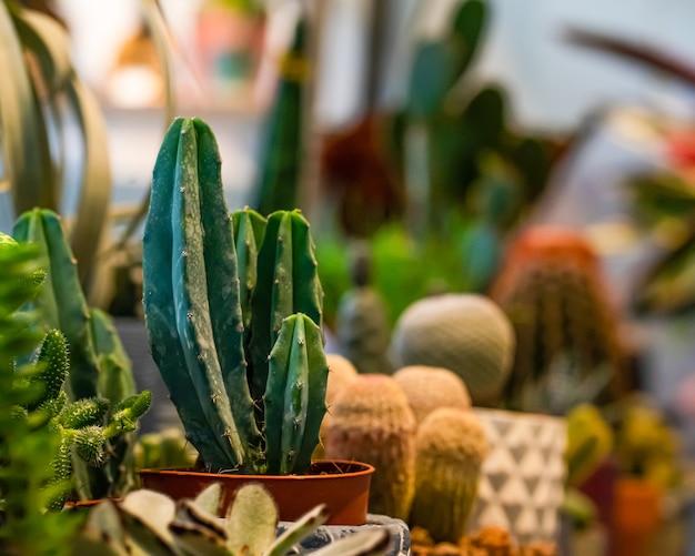 Variedade de cactos em vasos na estufa da loja de plantas