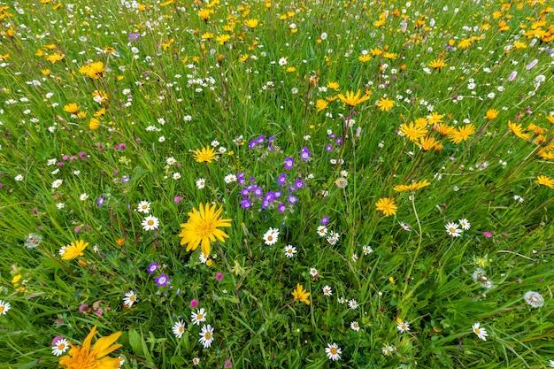 Variedade de flores silvestres brilhantes em um prado alpino nos alpes italianos