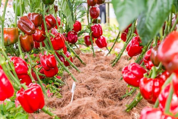 Variedade pimentão vermelho em fram.
