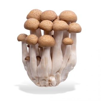 Variedades de cogumelos shimeji marrom isoladas