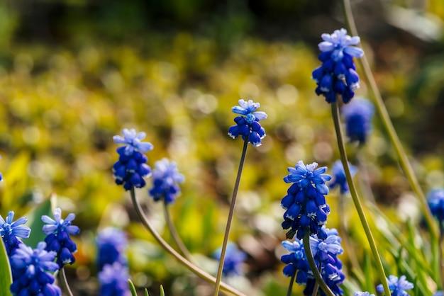 Vários bluebells azuis lindos. flores pitorescas do cobalto cercadas por gramas verdes com espaço da cópia. muscari ciano pequeno close-up. jacinto colorido na luz solar.
