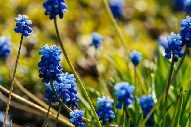 Vários bluebells azuis lindos no fundo ensolarado de hortaliças. flores pitorescas do cobalto cercadas por gramas verdes com espaço da cópia. muscari ciano pequeno close-up. jacinto colorido na luz solar.