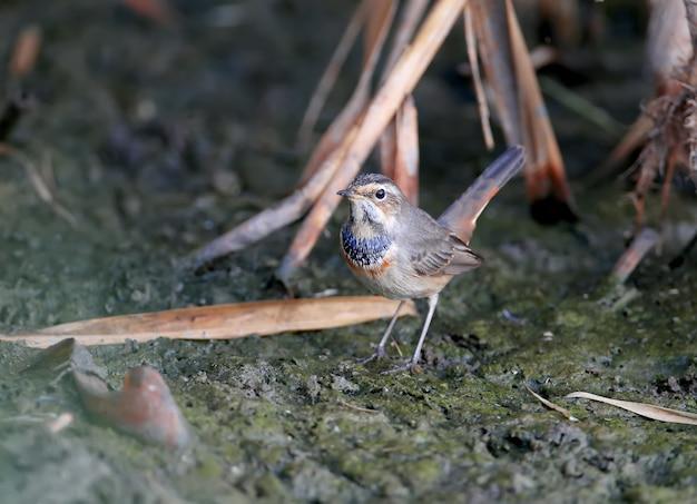 Vários bluethroats (luscinia svecica) em plumagem de inverno são filmados em close-up em juncos, pedras e na margem de um lago contra um belo fundo desfocado