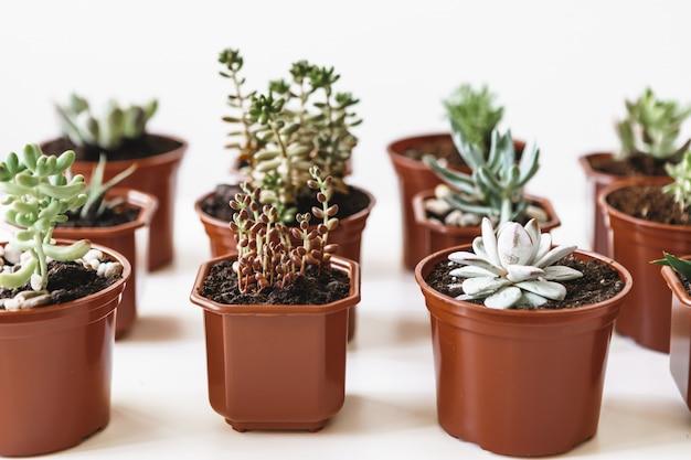 Vários cactos e plantas suculentas em vasos