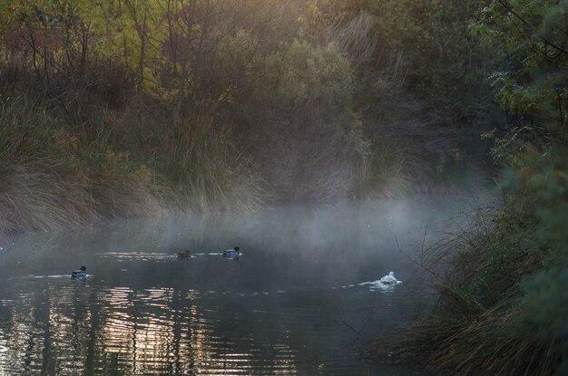 Vários gansos brancos nadam em um lago no outono na espanha