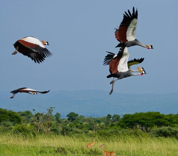 Vários guindastes coroados voando contra um céu azul
