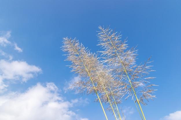 Vários juncos amarelos estão sob o céu azul e nuvens brancas