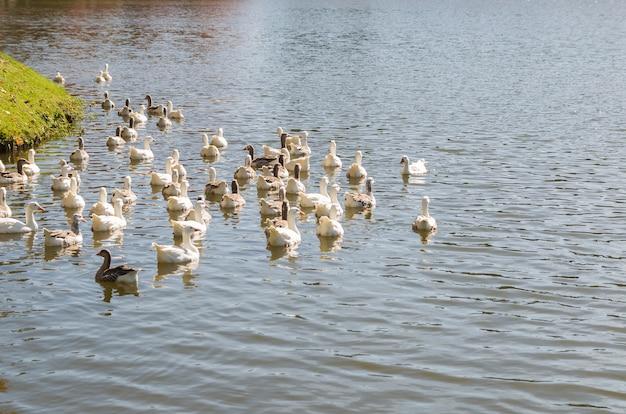 Vários patos brancos nadando em lago no brasil