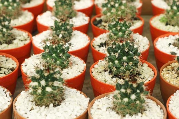 Vários pequenos cactos ou planta verde suculenta em vasos coloridos.