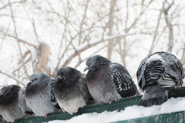 Vários pombos cinzentos estão sentados em uma grade contra um fundo de árvores nevadas.