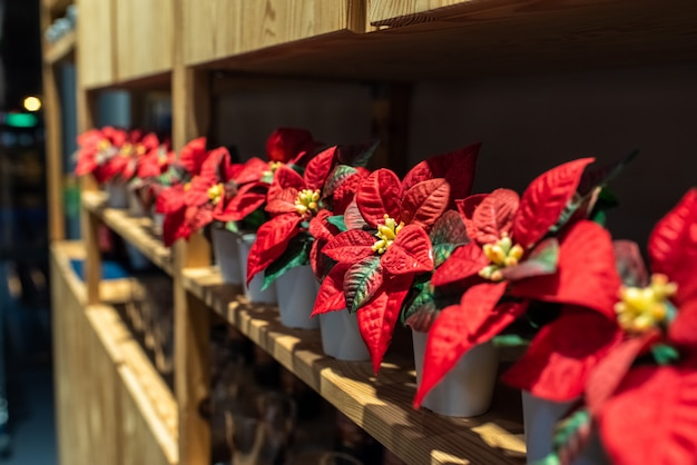 Vários potes com poinsettias vermelhos.
