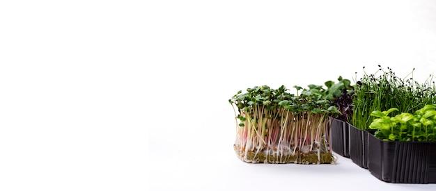 Vários recipientes com microgreens em um fundo branco. microgreens de diferentes variedades em uma foto de banner. microgreens de rabanete, girassol, cebola e manjericão, isolado no fundo branco.