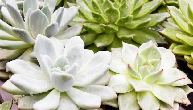 Vários tipos de suculentas em vasos de flores na estufa