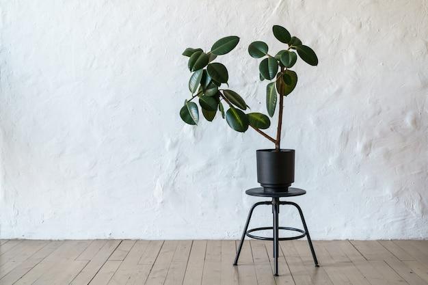 Vaso de flores com pé de árvore ficus no chão no fundo da parede de tijolo branco, copie o espaço