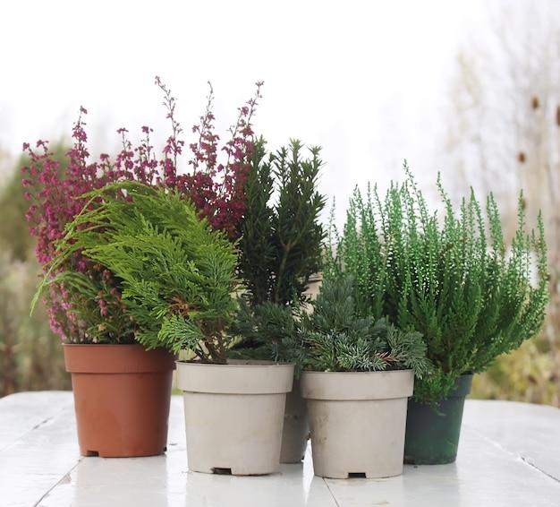 Vasos com plantas jovens coníferas na mesa de madeira ao ar livre.