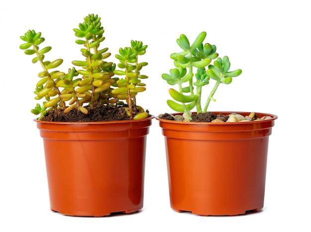 Vasos com plantas suculentas, isoladas no branco