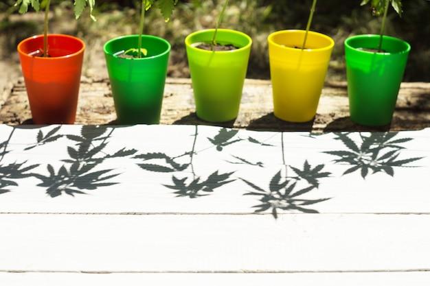 Vasos de flores multicoloridos com plantas de cânhamo