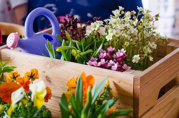 Vasos de flores para pequeno jardim, pátio ou terraço. mudas de primavera lindas flores em uma caixa de madeira.