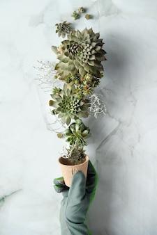 Vasos de mudas, plantio de mudas e mudas de plantas suculentas sempervivum.