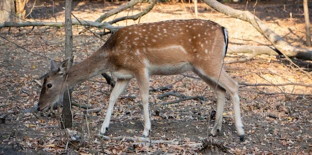 Veado à procura de grama seca na floresta. encontrar comida no início da primavera. animais selvagens.