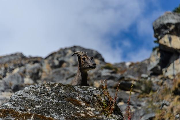 Veado-almiscarado selvagem no nepal